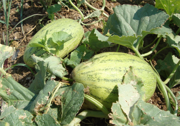 Melon Control Group